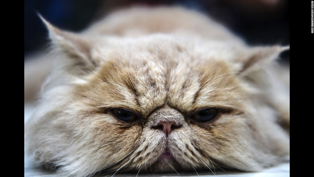 A Persian cat rests during a cat show in Istanbul on Sunday, October 16.