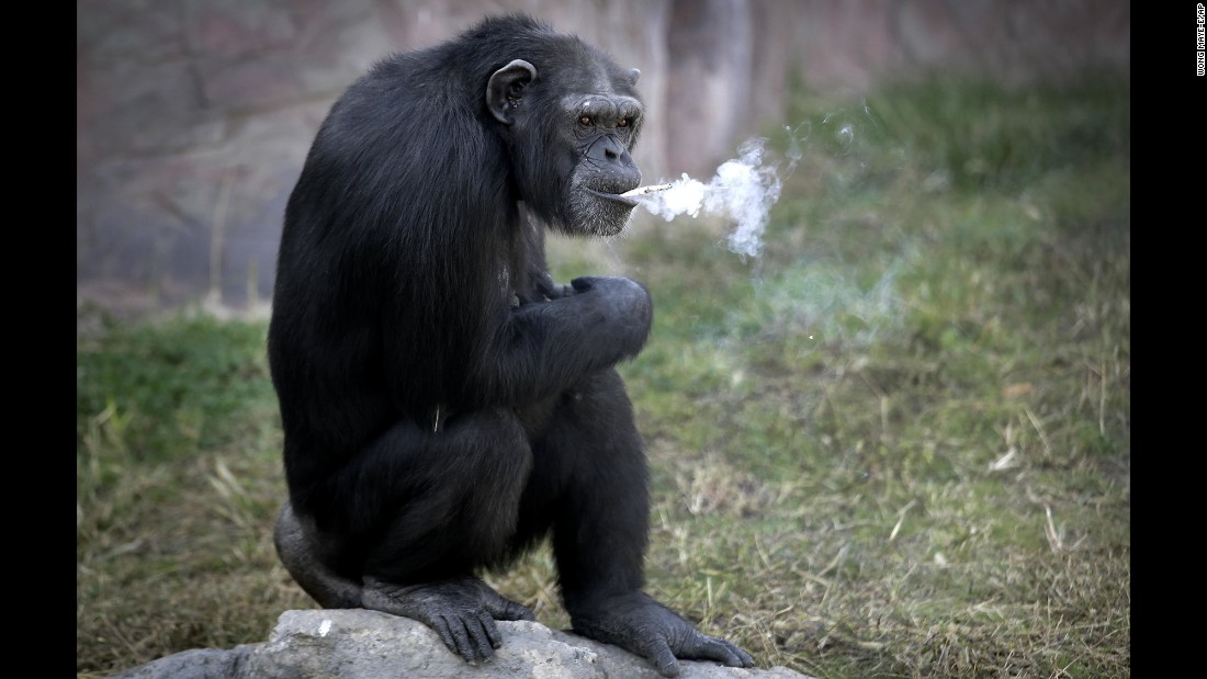Azalea, a 19-year-old chimpanzee, smokes a cigarette Wednesday, October 19, at the Central Zoo in Pyongyang, North Korea. Zoo officials said she smokes about a pack a day but doesn't inhale.