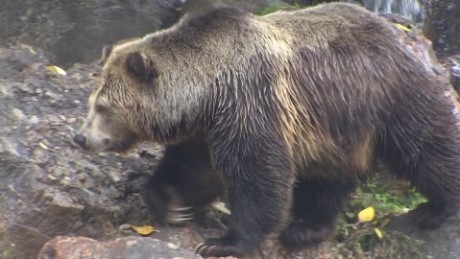 bring back grizzly bears California controversy nccorig_00000522