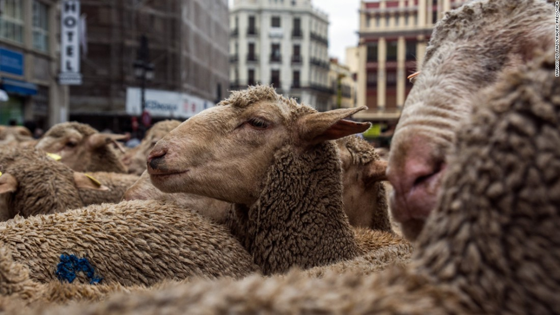 Sheep walk in the streets of Madrid during the annual Transhumance Festival on Saturday, October 22.