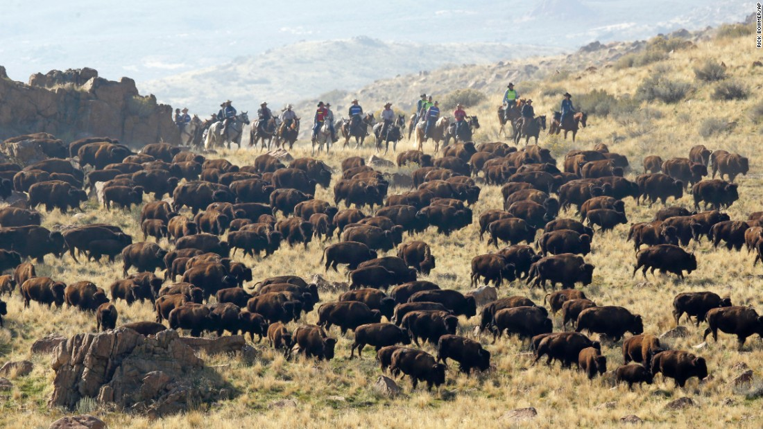 Bison are rounded up on Antelope Island, Utah, on Saturday, October 22. Utah park workers were moving the animals so they could be weighed, tagged and examined by veterinarians.