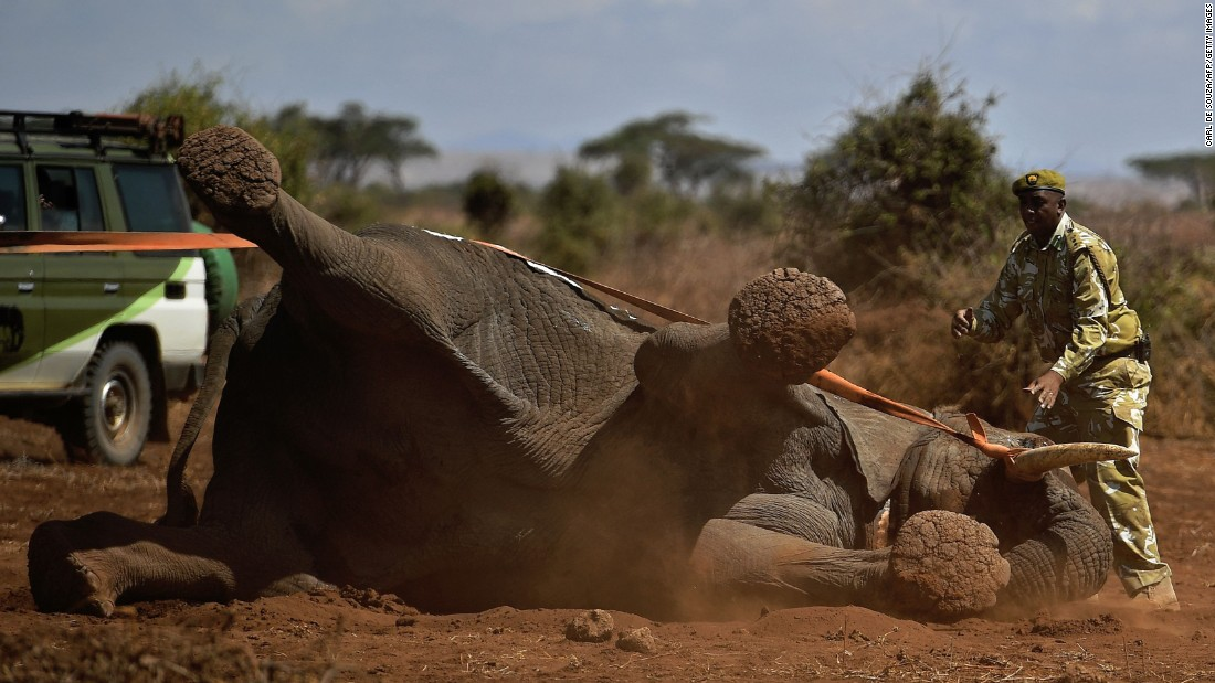 An elephant wearing an electronic collar begins to wake up after it was tranquilized in Kenya's Amboseli National Park on Wednesday, November 2. The International Fund for Animal Welfare is collaring two young male elephants to better understand their migration routes.
