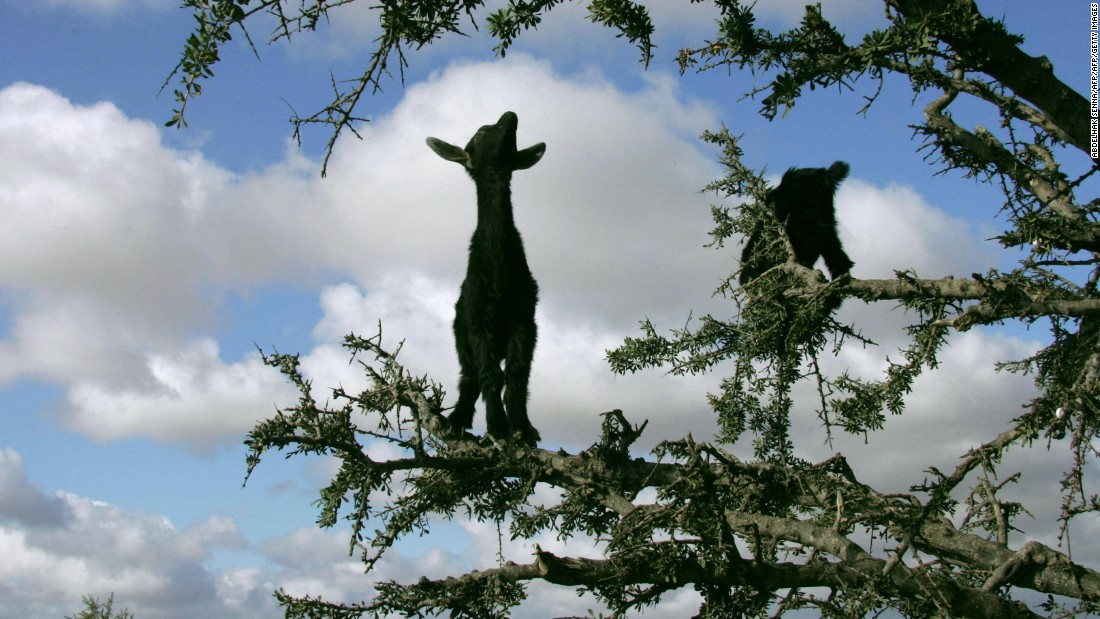 Due to the threat of overgrazing, seasonal goat bans have been put in place to ensure the animals can't get to the bitter fruits and stunt the Argan tree's growth.