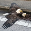 eagle trapped orange county florida