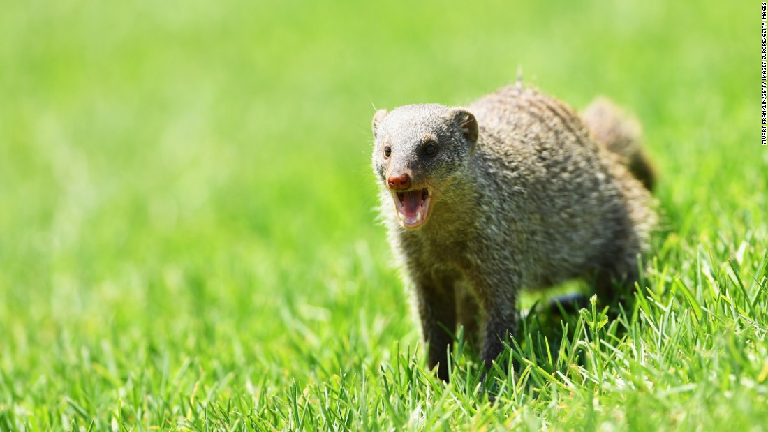 A mongoose joins the gallery during the 2016 Nedbank Golf Challenge at the Gary Player Golf Course in Sun City, South Africa.