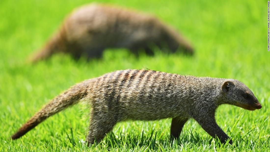 About 20 mongooses ran on to the course on Thursday while more were spotted Friday.