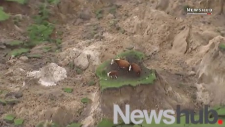 These cows survived the powerful earthquake in New Zealand ORIG _00002606.jpg