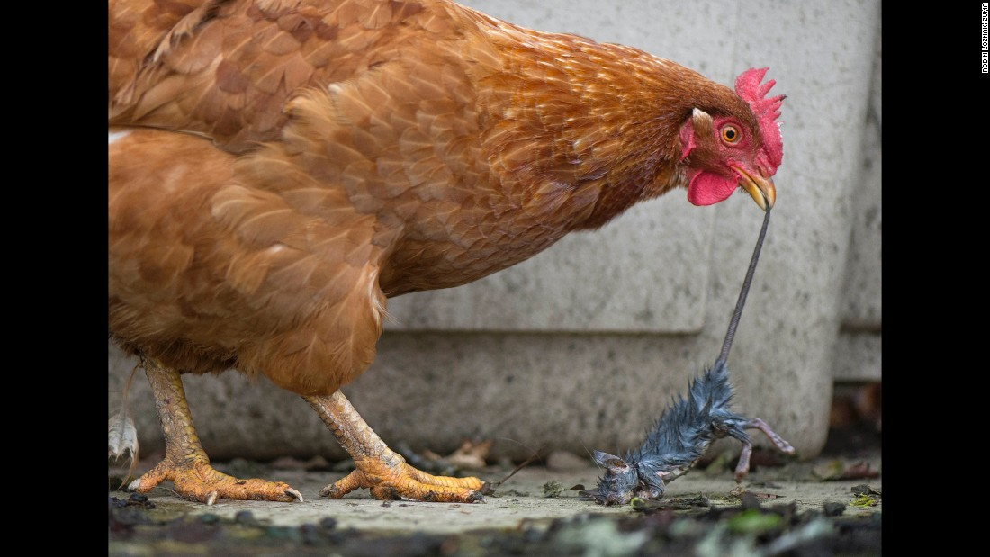 <strong>February 21:</strong> A chicken tries to eat a dead rat on a ranch in Roseburg, Oregon.