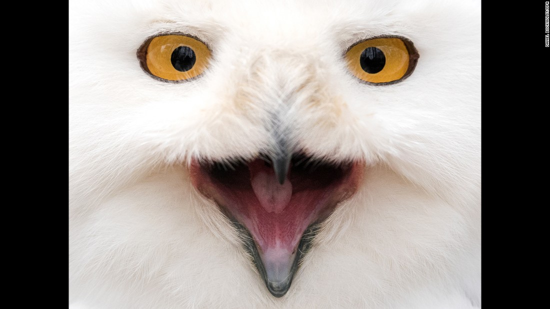 <strong>March 4:</strong> A snowy owl looks into a camera at an animal park in Neumunster, Germany.