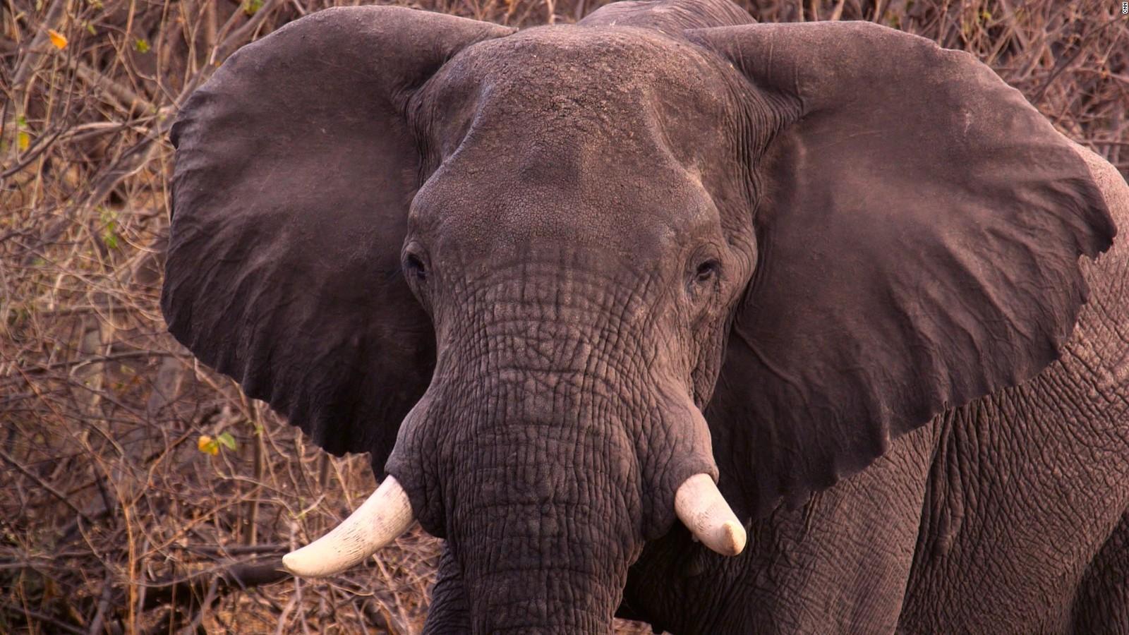 we are failing the elephants u0027 cnn