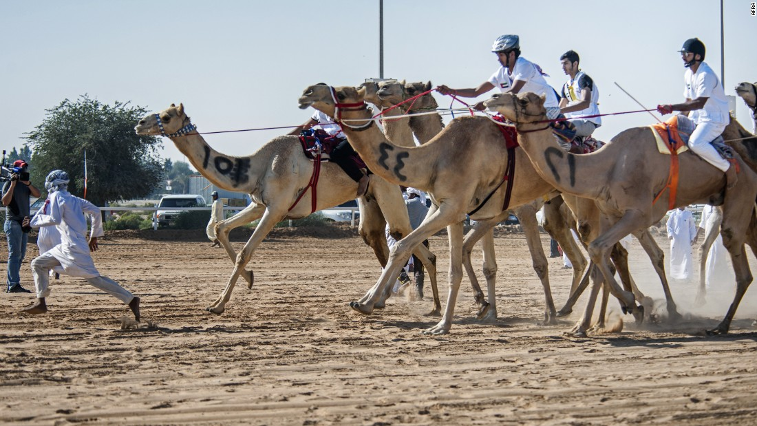 Camels are surprisingly fast runners, able to reach speeds of up to 18 miles per hour (30 km/h).