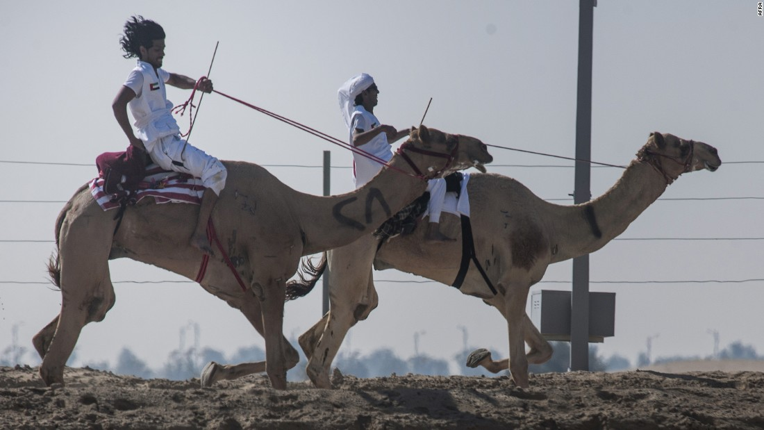 Camels have long been integral to culture in the Middle East. They are traditionally bred for milk or used as caravans to cart goods across the desert.