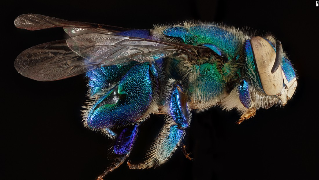 There are an estimated 20,000 bee species worldwide, including those with green and blue bodies. This bee was collected from Biscayne National Park near Miami.