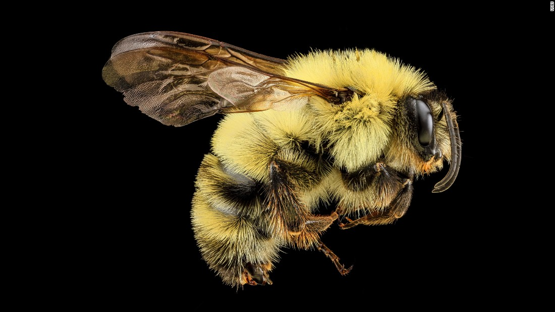 Bombus bimaculatus is another species of bumblebee, found in Virginia.