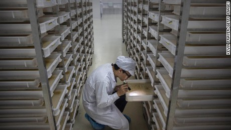 "A lab technician looks at trays of larvae in the ""mosquito factory's"" mass production facility."
