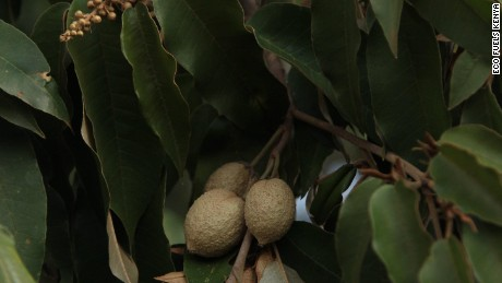 The Croton megalocarpus tree is common throughout much of East and Central Africa