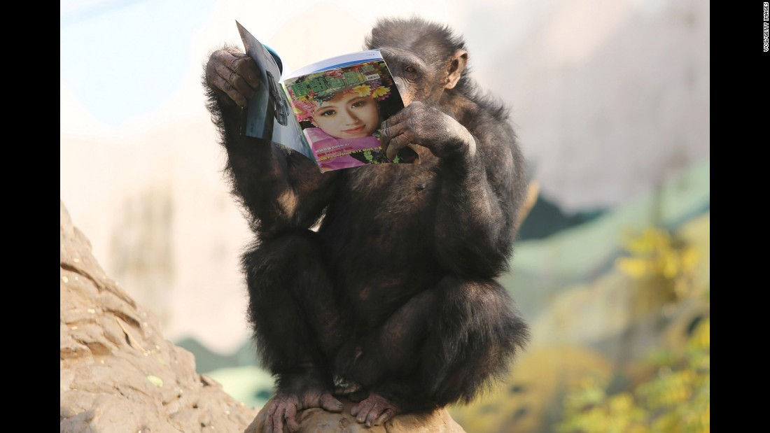 A chimpanzee reads a magazine at a wild zoo on Tuesday, December 27, in Chongqing, China.