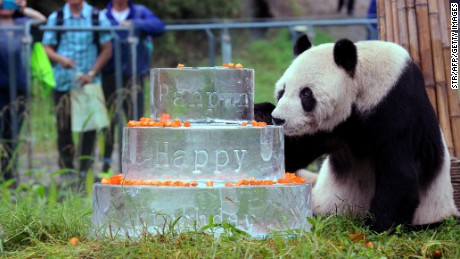 This photo taken on September 21, 2015 shows giant panda Pan Pan sniffing a birthday cake made of ice for his 30th birthday at the China Conservation and Research Centre for the Giant Panda in Dujiangyan, southwestern China's Sichuan Province.  The world's oldest male panda, with more than 130 descendants -- a quarter of all the captive-bred pandas on the planet -- has died aged 31, officials said on December 29, 2016. / AFP / STR / China OUT        (Photo credit should read STR/AFP/Getty Images)