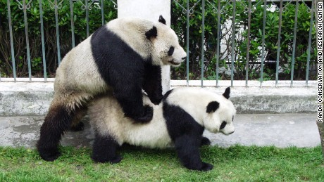 Pan Pan mating with a female during his youth in 1999. He helped father 25% of all pandas in captivity worldwide.