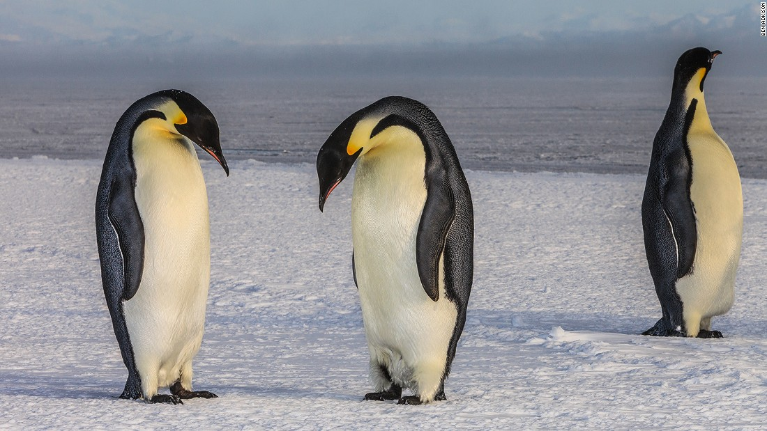 <strong>Penguins:</strong> Emperor (pictured) and Adelie Penguins wander along the sea ice edge during the summer season. The National Science Foundation funds researchers who study how these birds are affected by climate change.