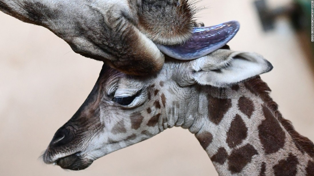 A 3-day-old giraffe is cleaned by its mother at a zoo in Budapest, Hungary, on Tuesday, January 3.