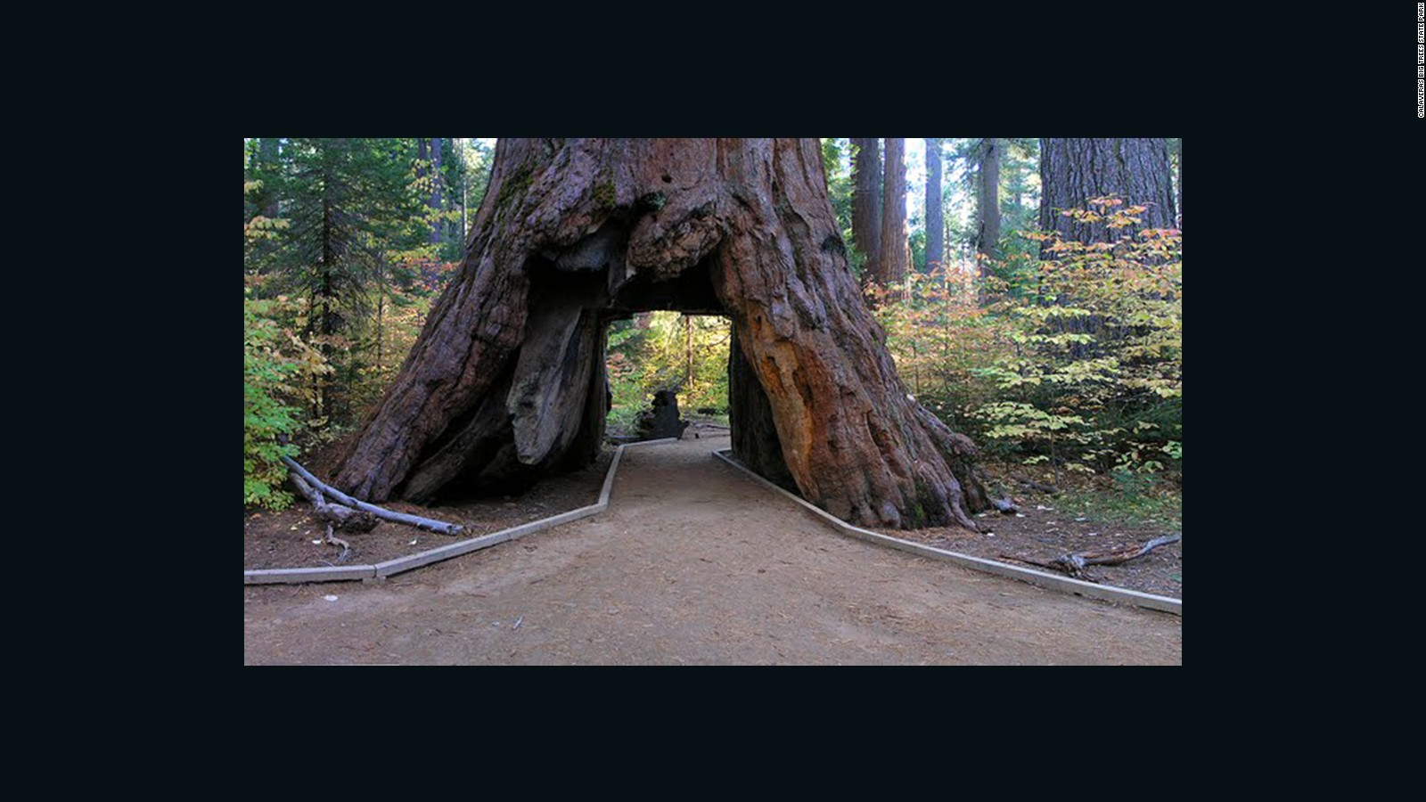 One of California\'s famous \'drive-through\' trees toppled by winter ...