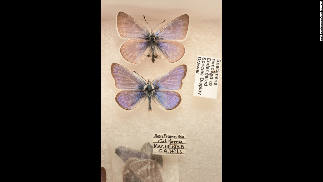 The Xerces blue butterfly was last observed in the wild in 1941. The species was of great interest to butterfly experts because each specimen exhibited incredible variation in its wing patterns. It was native to the coastal sand dunes of San Francisco before losing its habitat to urbanization. It was the first North American butterfly to become extinct as the result of human action.