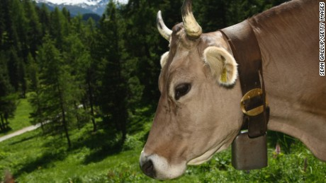 A dairy cow with a heavy bell around its neck grazes on grass in the alpine landscape on June 12, 2009 near St. Moritz, Switzerland. Grazing cows are a fixture of stereotypical Swiss mountain scenery.