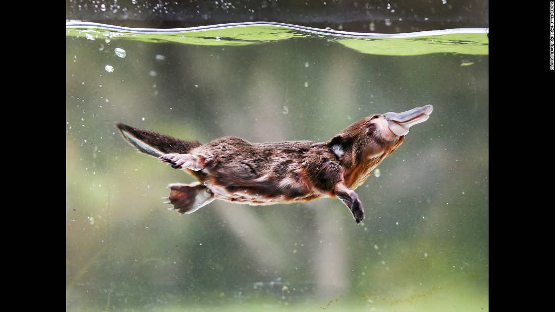 A 3-month-old platypus goes for a swim Friday, January 6, at the Australian Reptile Park in Central Coast, Australia. The platypus was found by a dog in Wyong Creek and nursed back to health at the park.