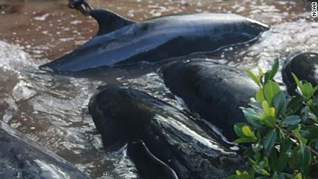 A total of 95 false killer whales were stranded near the Florida Everglades.