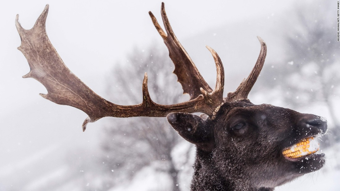 A stag eats a piece of corn in the village of Dumnice, near the town of Vushtrri, Kosovo, on Monday, January 16.