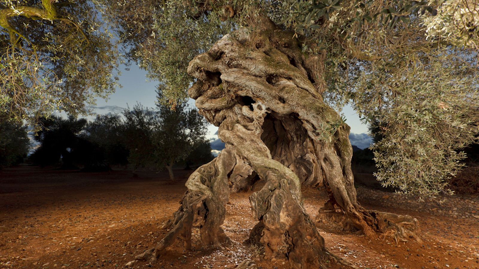 Spain S Ancient Olive Trees New Taste For Their Olive Oil Cnn