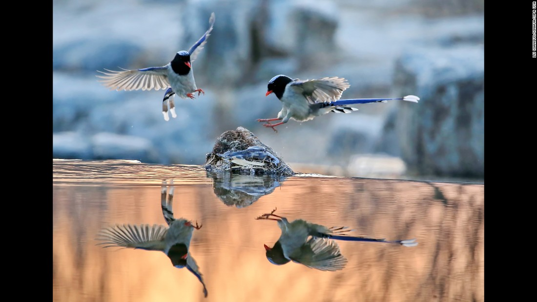 Red-billed blue magpies fly at the Olympic Forest Park in Beijing on Monday, January 23.