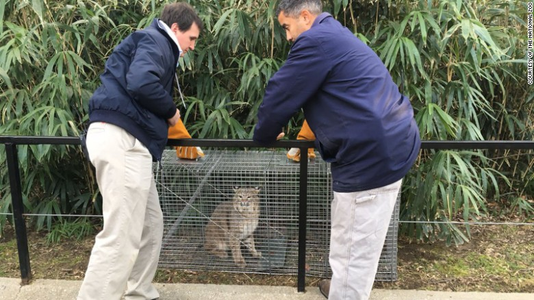 Missing bobcat found on zoo property