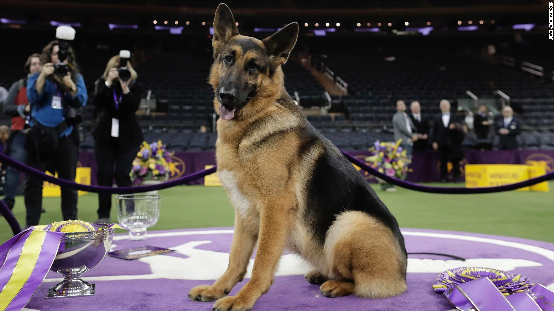 Rumor, a 5-year-old female German shepherd, poses for photos after winning Best in Show at the 141st Westminster Kennel Club Dog Show at Madison Square Garden in New York, early on Wednesday, February 15.