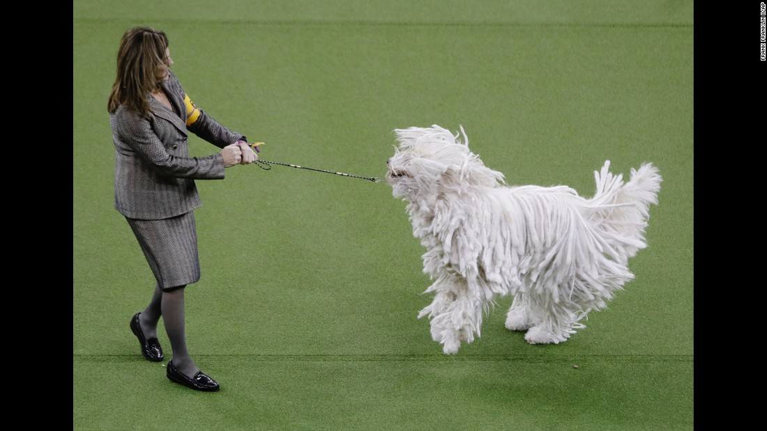 Betty, a Komondor, competes with her handler in the working group on Tuesday, February 14. More than  2,500 dogs entered the show from around 200 eligible breeds and varieties.