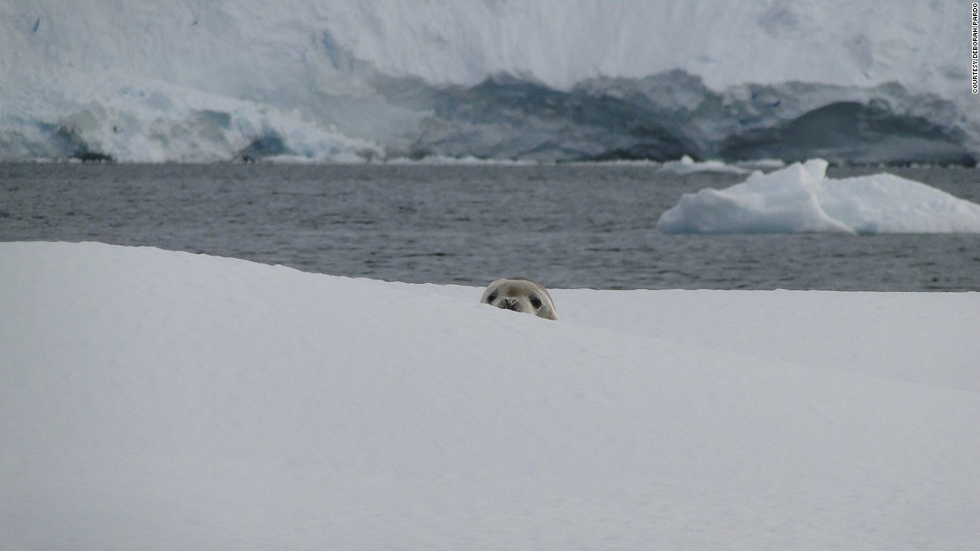 Crabeater seals are the most abundant seal species in the world. Pardo jokes that this particular seal was surprised to see a zodiac full of laughing women staring at him.