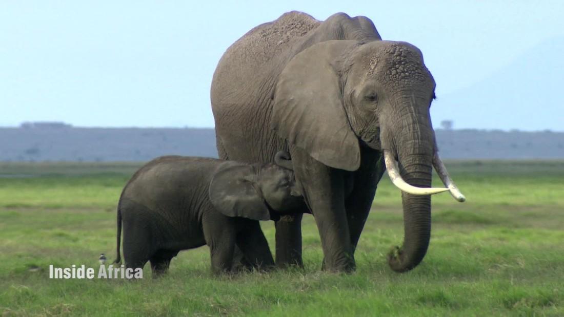 Raising Kenya's orphaned elephants