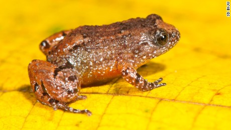 Tiny night frogs prefer land and do not have webbed feet. This is the Manalar Night Frog (Nyctibatrachus manalari).