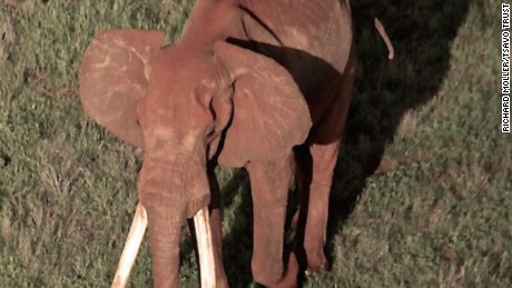 Poachers kill rare giant tusker elephant in Kenya
