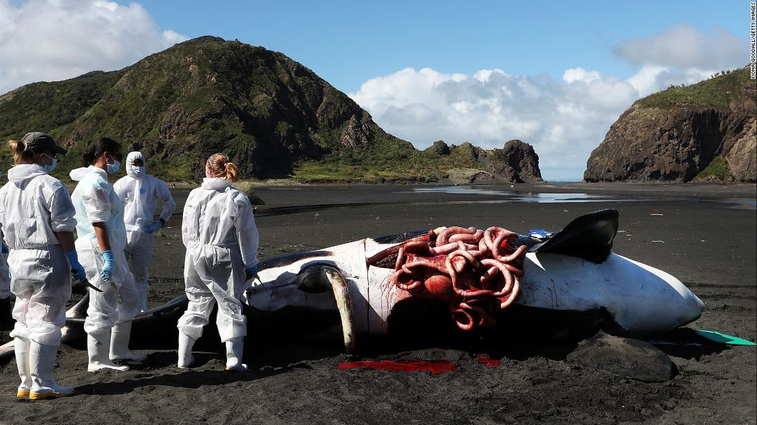 A dead orca is examined after it washed up on a beach in Auckland, New Zealand, on Monday, March 14.