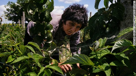 Pictured, a Bulgarian organic farmer picks raspberries at a farm near the southern village of Trud.