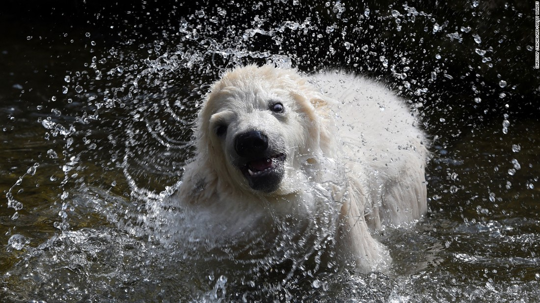 A 4-month-old polar bear splashes at the Hellabrunn Zoo in Munich, Germany, on Thursday, March 23, after a naming event. The bear was named Quintana.