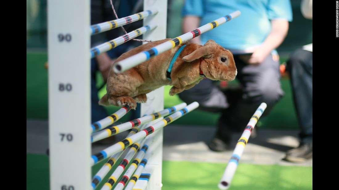 "A rabbit fails to clear an obstacle during a ""track and field"" competition in Kromeriz, Czech Republic, on Saturday, April 1. About 100 rabbits competed in events that included the high jump, the long jump and running on a flat track."