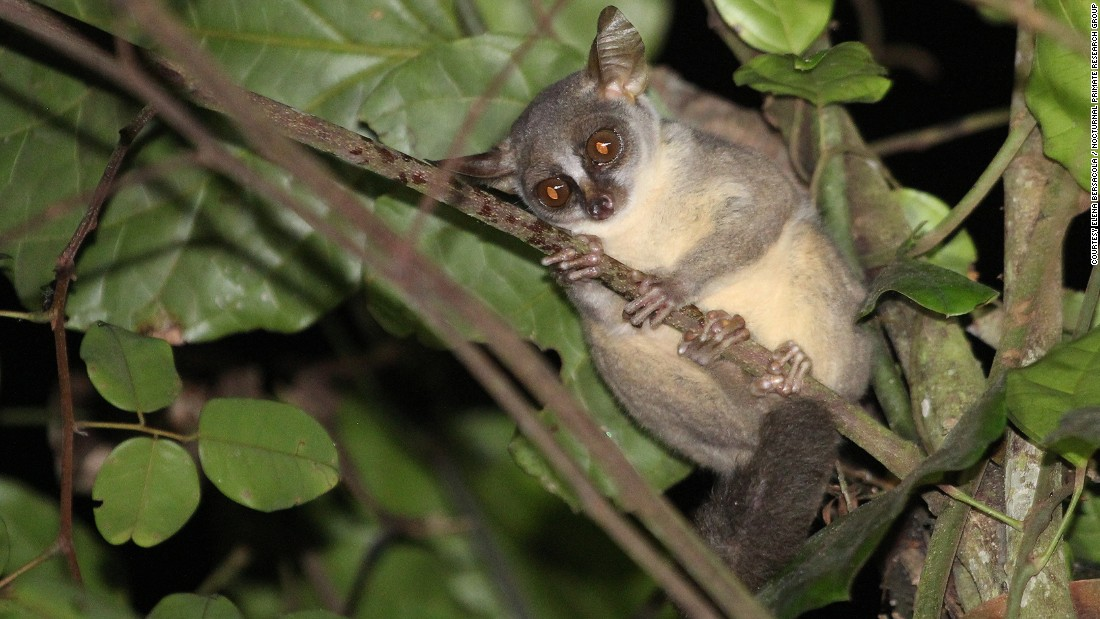 Scientists at Oxford Brookes University, UK have discovered a new, small and wide-eyed primate in the forests of Angola called the dwarf galago.