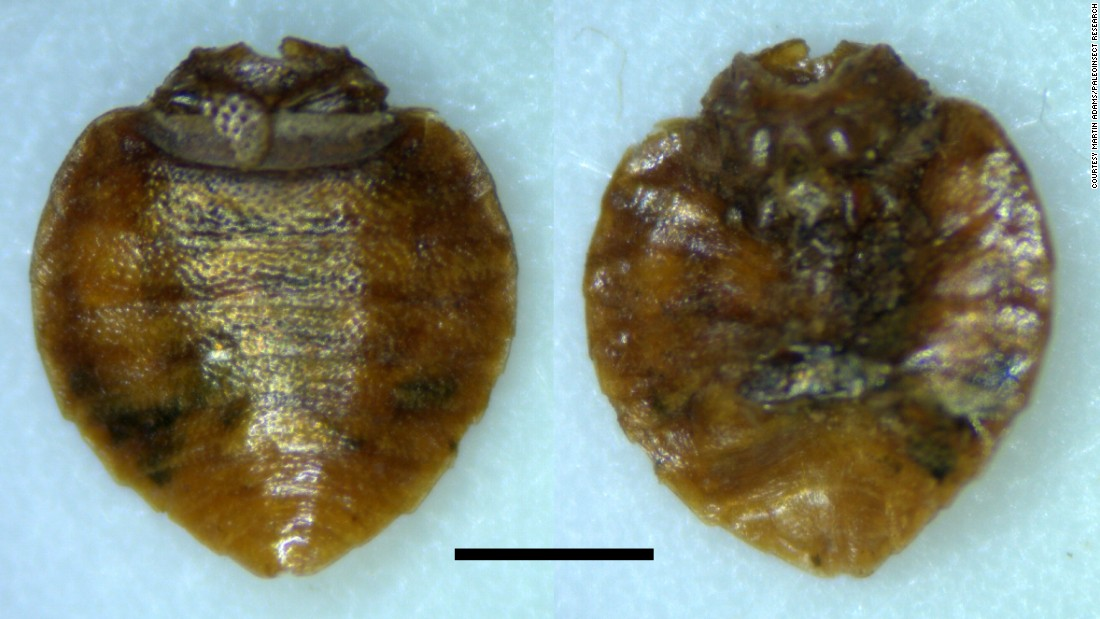 Bedbugs have pestered us for centuries. These begbug fossils were recently recovered from Paisley Caves, Oregon, the site of the oldest dated archaeological human remains in North America, and are approximately 9,400 years old. <br /><br />Bedbugs nearly vanished in the United States during the 1940s and '50s due to improved hygiene and the use of the pesticide DDT but are on the rise again due to global travel and a increasing resistance to common pesticides.