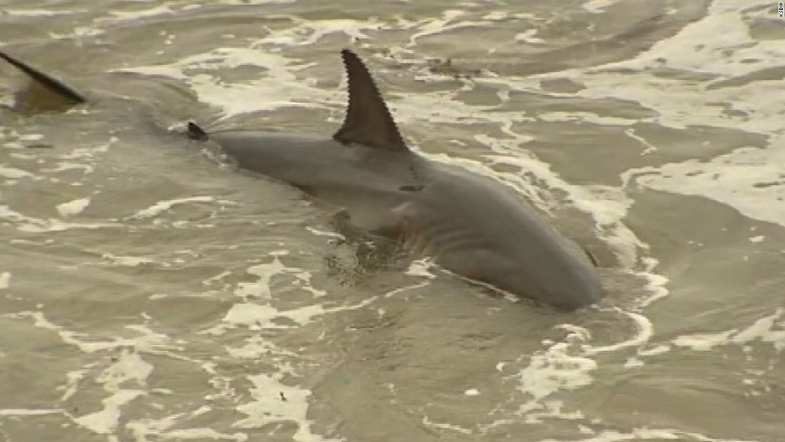 Great white shark trapped on beach, and causing a scene