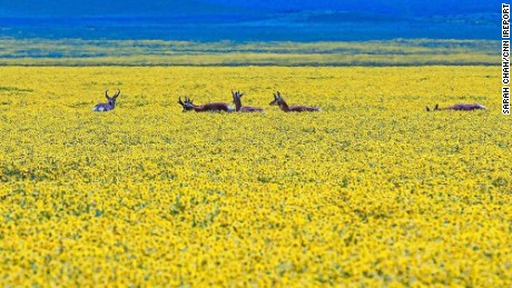 California's Carrizo Plain National Monument is covered with wildflowers.