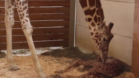 April the giraffe becomes Internet sensation