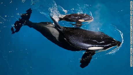 Takara helped guide her newborn to the water's surface.